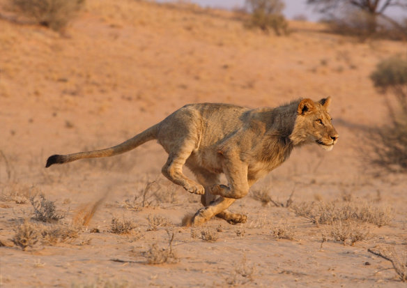 A young male lion running with a purposefull gaze ahead.
