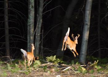 beacon-deer-jump-1