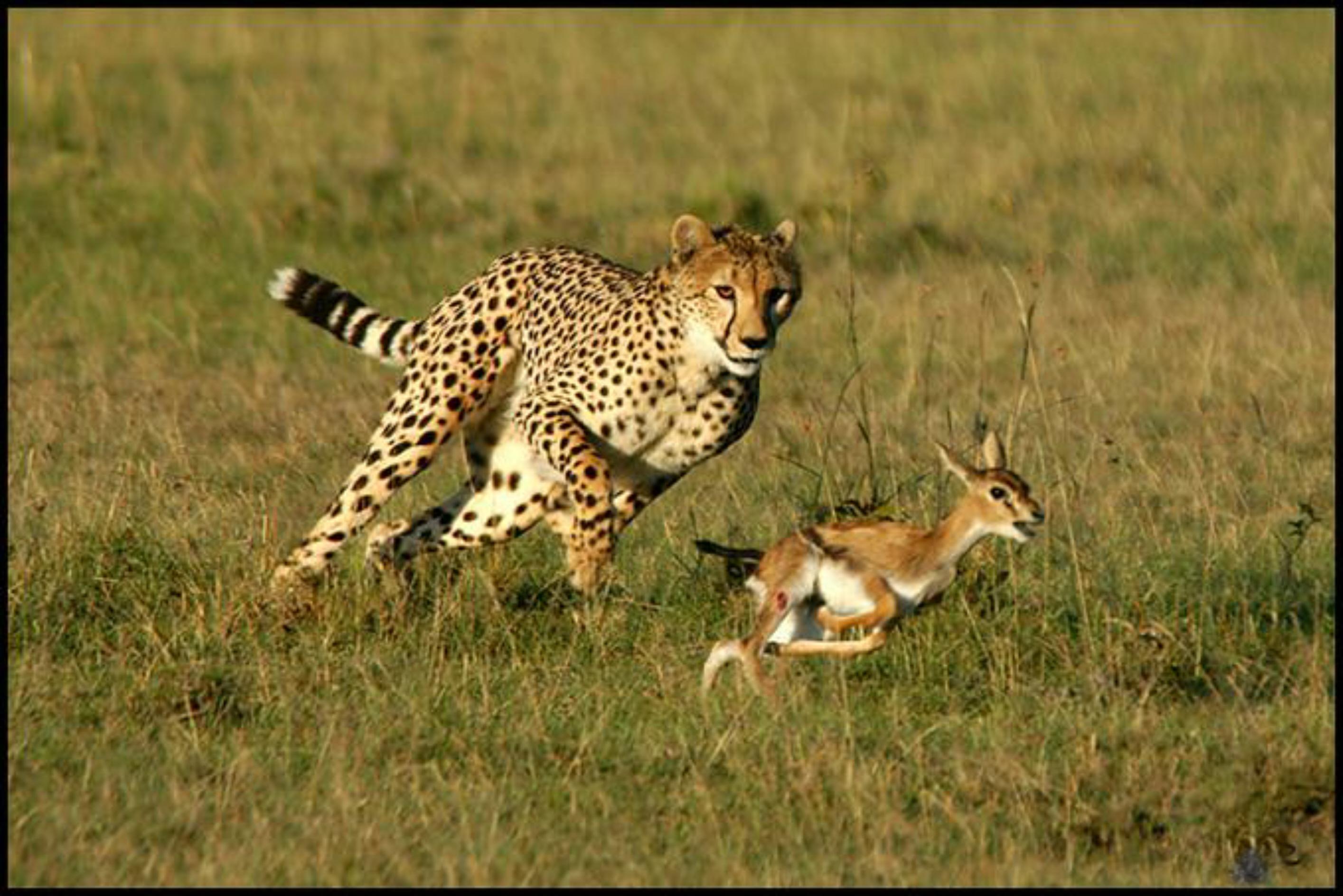 cheetah-US