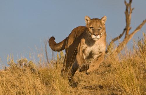 forward_frank_running_mountain_lion