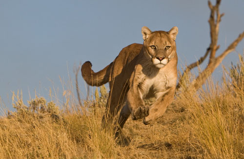 forward_frank_running_mountain_lion