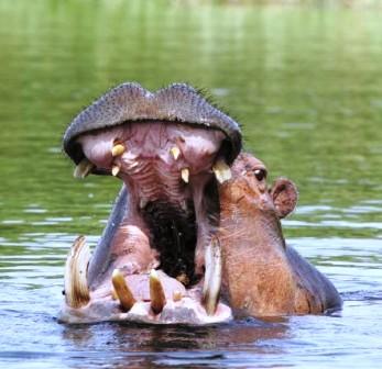 gv-hippo