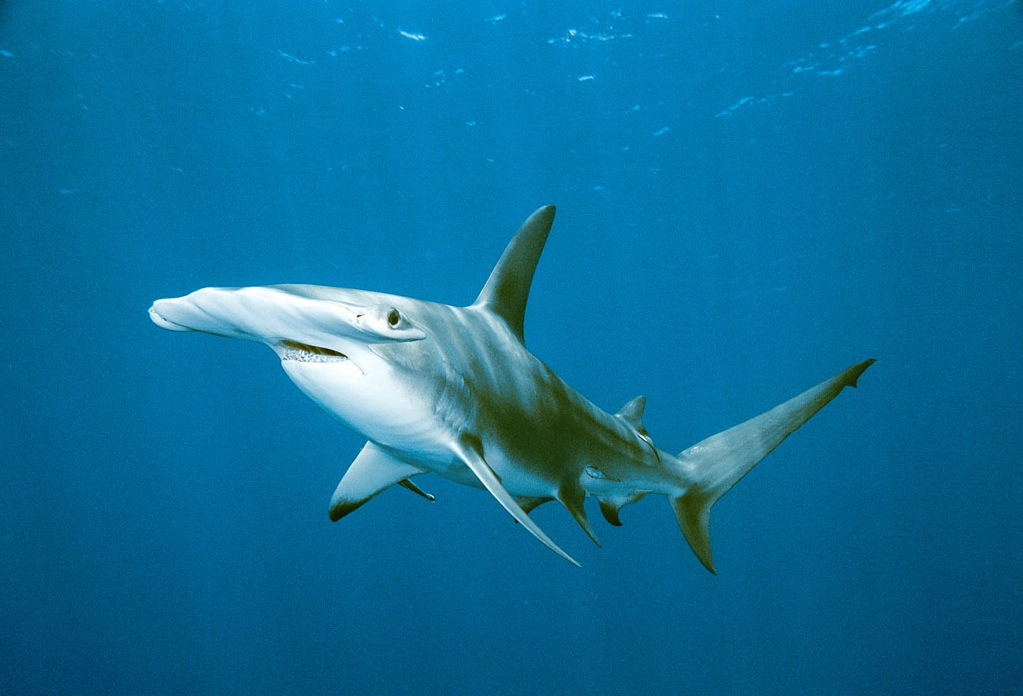 hammerhead_shark_swimming-13959