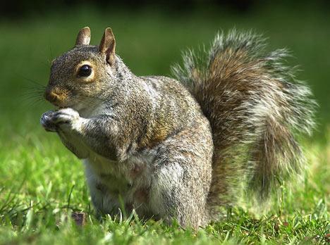 squirrelb