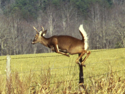 whitetail_deer_02