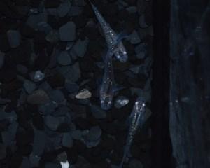 黒オーロララメ2