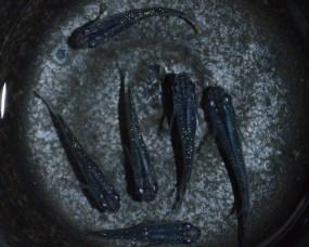 黒ラメ171-1
