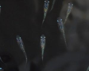 黒オーロララメ22