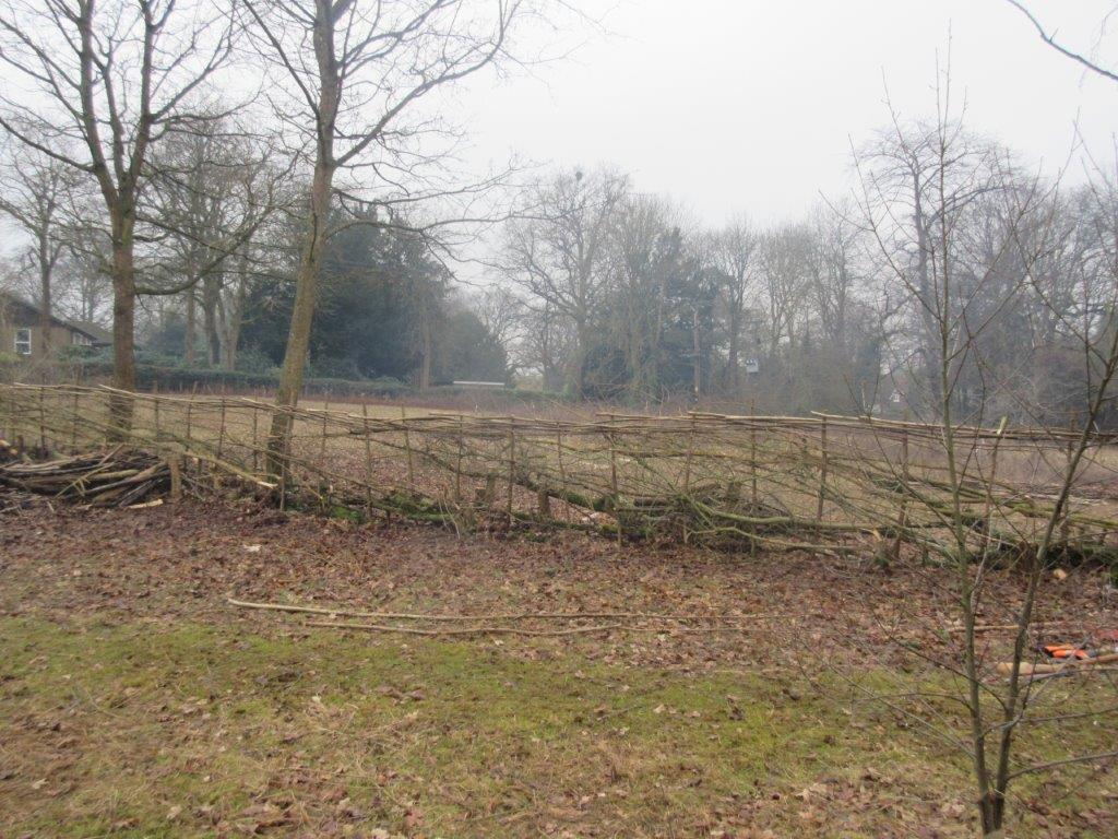 Beryl Harvey hedgelaying Feb 2017 (1)