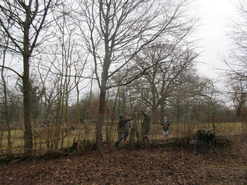 Beryl Harvey hedgelaying Feb 2017 (2)