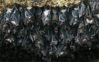 Perù: pipistrelli vampiri attaccano 500 persone, morti 4 bimbi