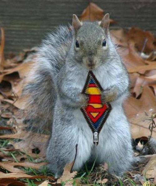 squirrel-superman