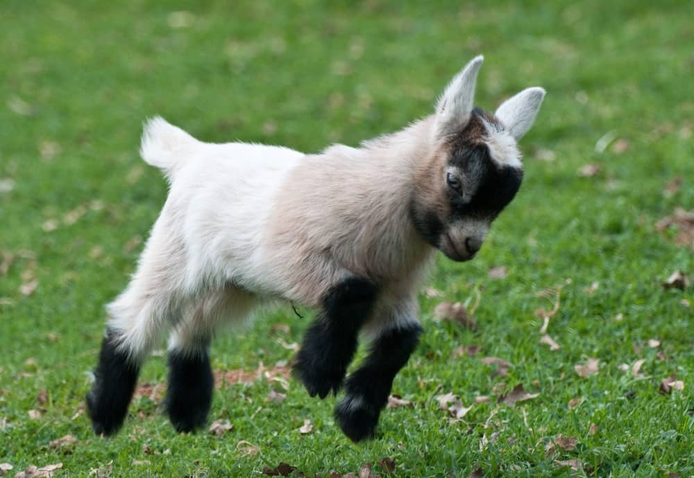 The Goat Festival Has Gone Viral