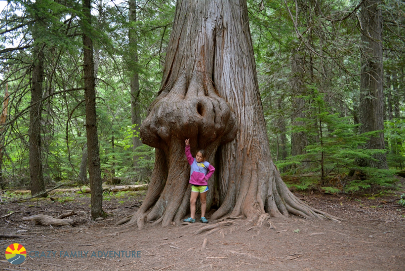 The Trail of the Cedars is #6 on our list of best hikes in Glacier National Park with kids