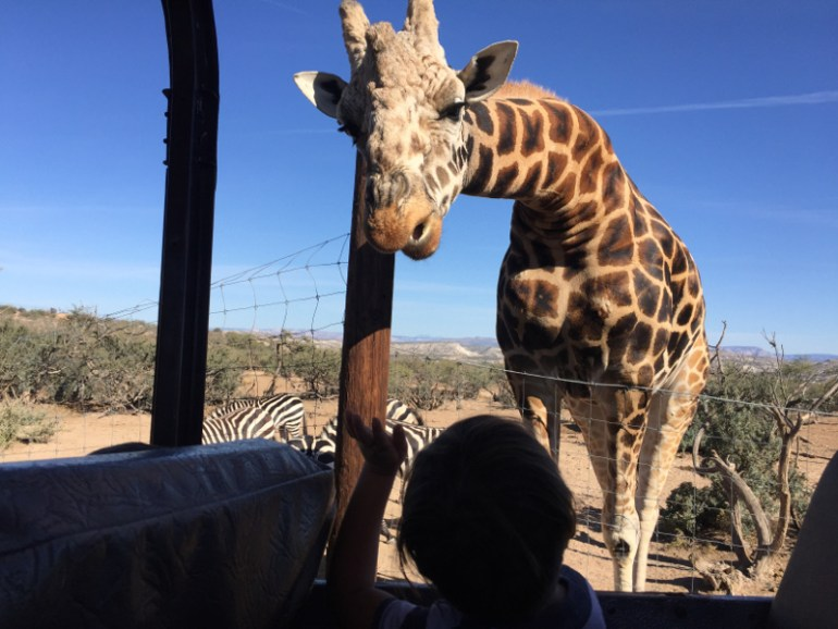 Feeding a giraffe at Out of Africa in Cottonwood, AZ