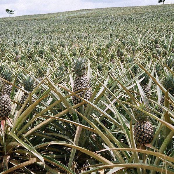 Nie wiemy, jak wam, ale nam ananasy kojarzyły się z jakimiś drzewami. A tu proszę - prawie jak kapusta... fot. hiyori13