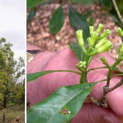 Goździki to nierozkwitłe i wysuszone pąki drzewa goździkowego.