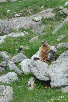Marmottes 13