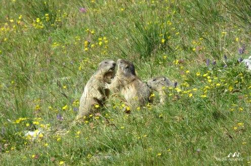 Marmottes 4