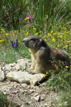 Marmottes 7