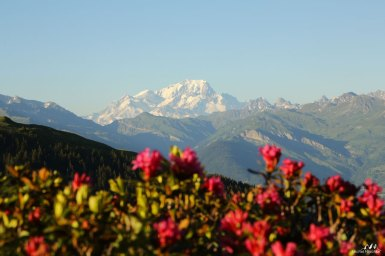 Mont Blanc rhododendrons
