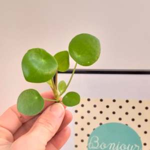 Boutures Pilea à adopter // Green Shop Creamalice