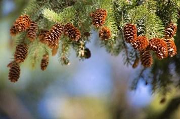 pine-cones-2823765_960_720