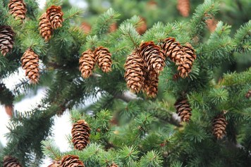 pinecone-1582912_960_720