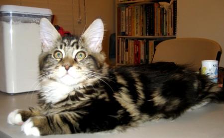 Magellan The Baking Kitten