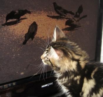 Cat TV - 2
