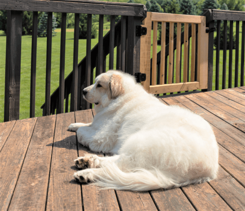Great Pyrenees 1