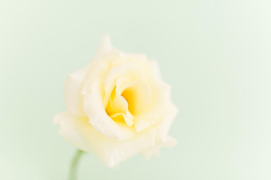High key photo of rose