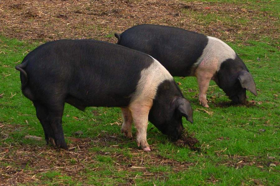 Wessex Saddleback Pigs