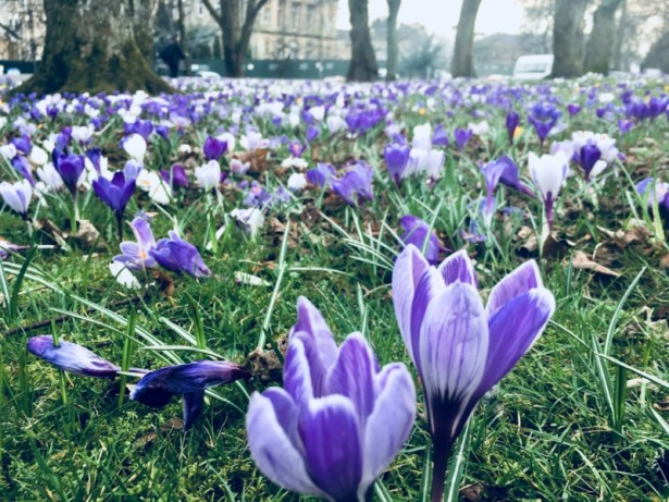 Lots and lots of light purple crocuses in grass