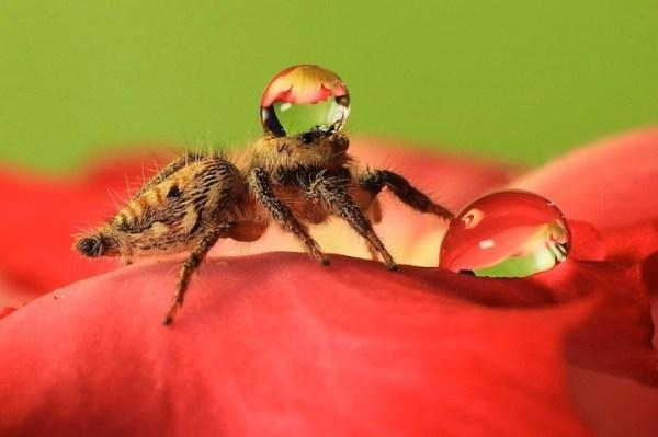 spiderswaterdrops04
