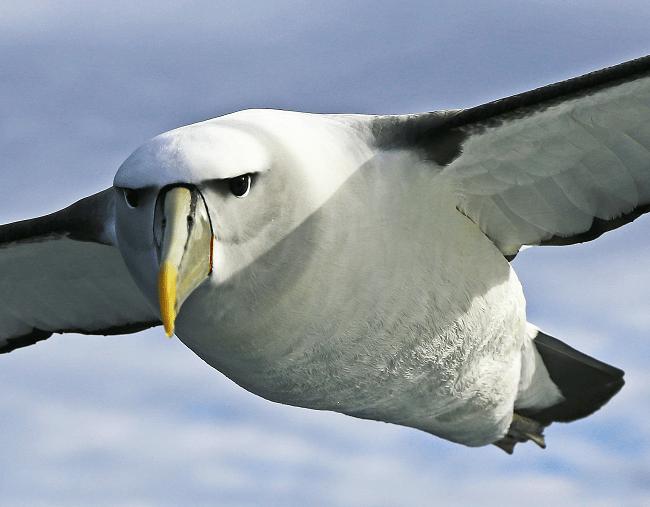 Albatross in Coleridge's ballad