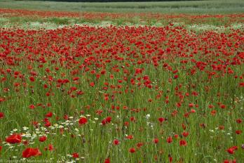 Wilder Mohn in Wien