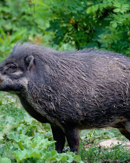 Freedom the pet pig looks just like this