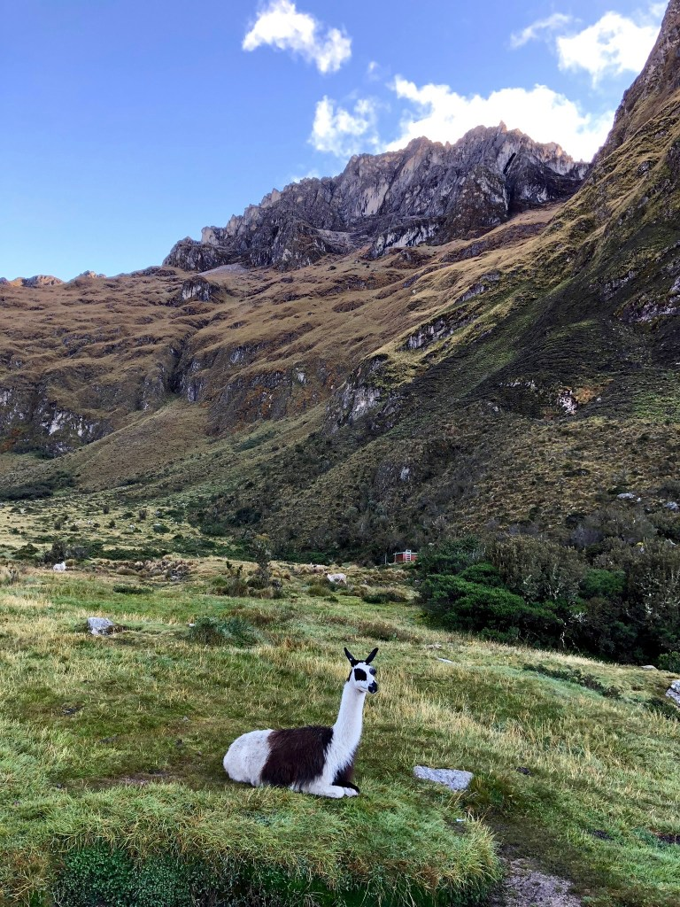 View of an Alpaca on the Inca Trail