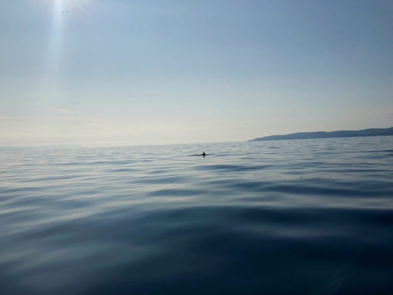 Dolphin in the Adriatic