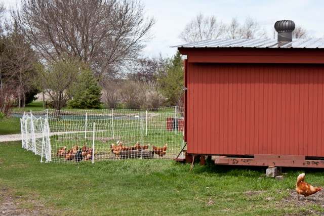 Creekside Natural Farm_Spring2011_Chickens