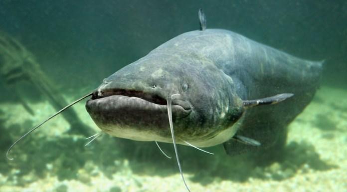 Un esemplare di pesce siluro, foto generica