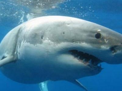 Λευκός καρχαρίας στο Αιγαίο