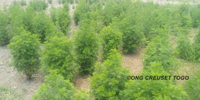L'Artémisia à la ferme agricole de Creuset Togo