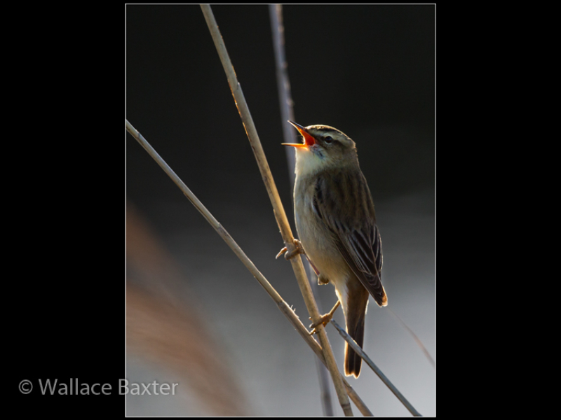 01_Male Sedge Warbler_Wallace Baxter-2