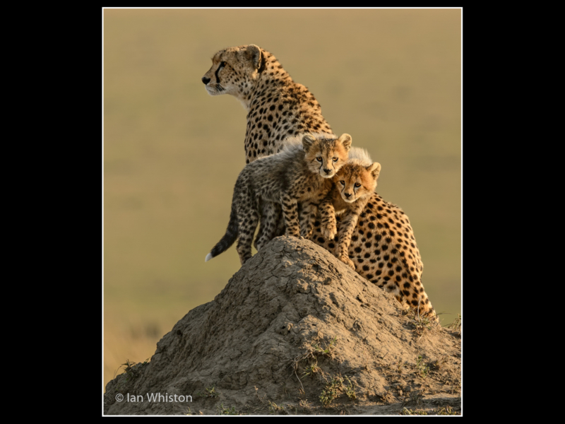 'Cheetah Siblings with Mum' by Ian Whiston