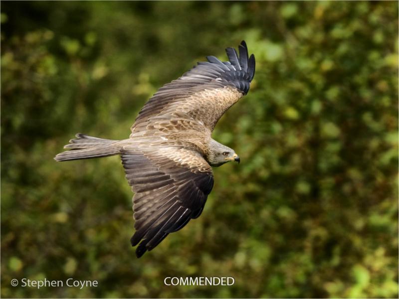 Stephen Coyne – 5_Black Kite in Flight_N_38-2-2