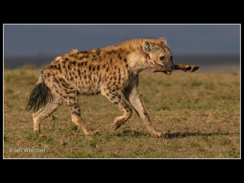 Ian Whiston -Hyena with Buffalo Leg_N_26-2