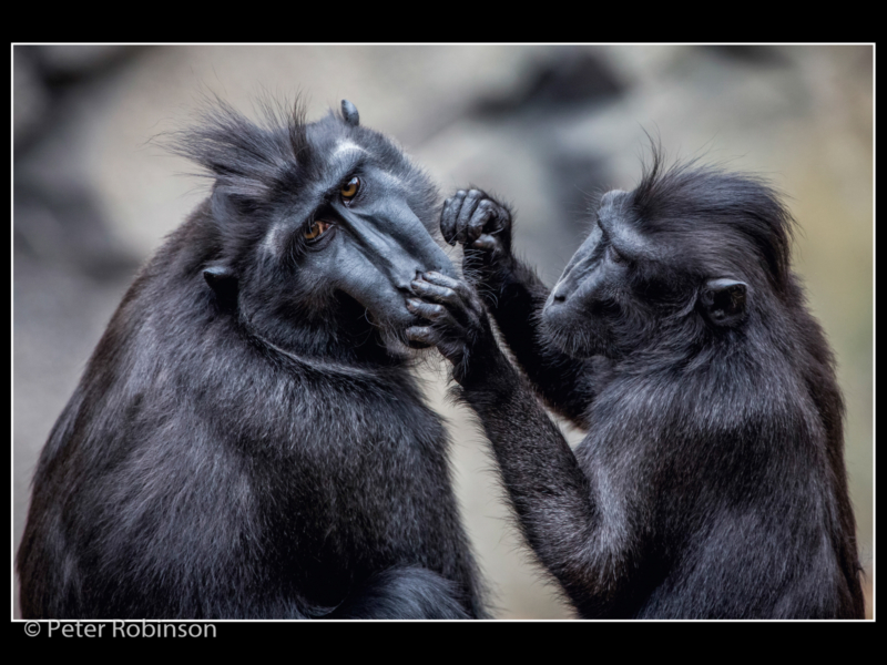 Peter Robinson – 1_Macaques Grooming_N_19-2