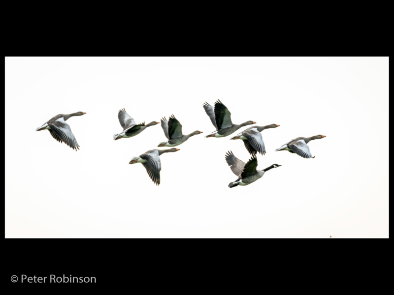 Peter Robinson – Flock of Canadian Geese-2